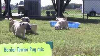 The Fab Five--border Terrier Pug Mix Puppies
