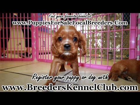RUBY, CAVALIER KING CHARLES SPANIEL PUPPIES FOR SALE GEORGIA LOCAL BREEDERS