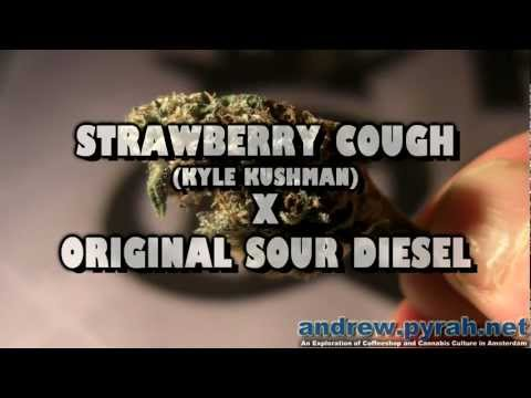 STRAWBERRY SOUR DIESEL Grey Area Coffeeshop (Devils Harvest) - Amsterdam Weed Review HD
