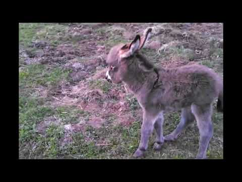Baby Mini Donkey's First Run! SUPER CUTE!!