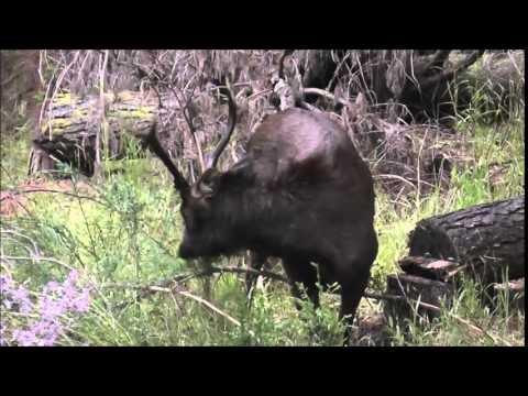 Sambar Hunt NZ