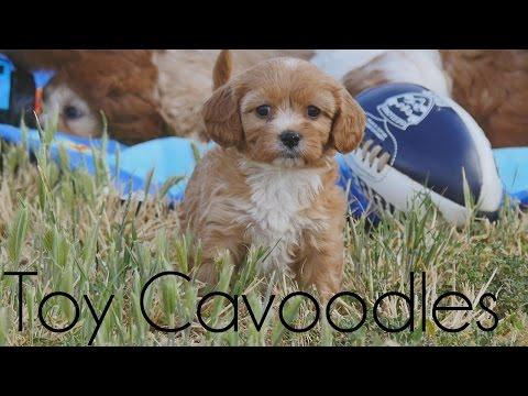 Cavoodle Picnic 2016
