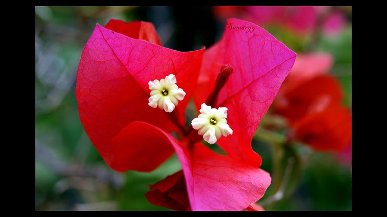 Reproducion y cuidados de la flor de bugambilia youtube for Como se planta la lavanda
