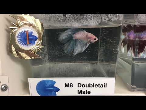 Holland Betta Show 2017