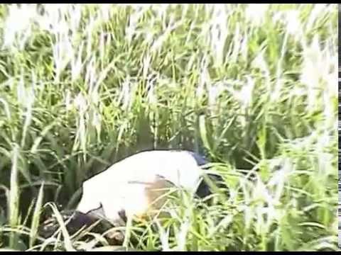 Применение удобрения Байкал ЭМ-1 для выращивания риса в Узгене (видео на узбекском языке)