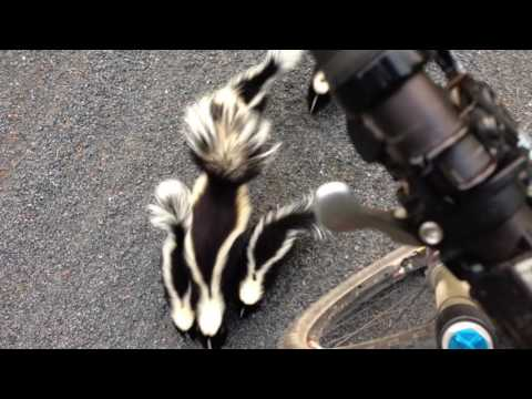 Cyclist Meets Family of Skunks