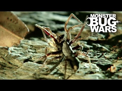 White Tail Spider Vs Cellar Spider | MONSTER BUG WARS