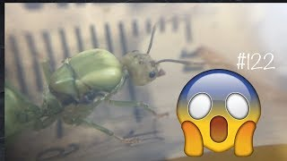 Это же зеленый муравей !!! Разве такое бывает?