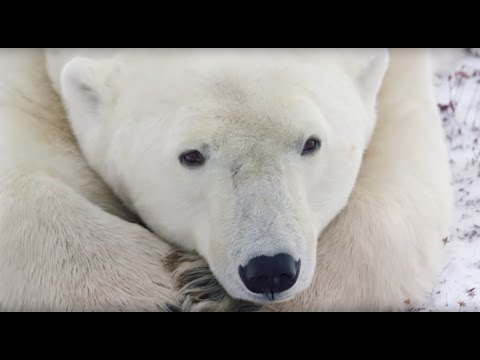 Close Encounters with Polar Bears in Churchill | A Conservation Travel Experience