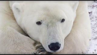 Close Encounters with Churchill's Polar Bears – A Conservation Travel Experience