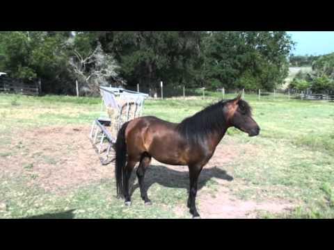 Caspian Horses at MCC Farms, July 2013