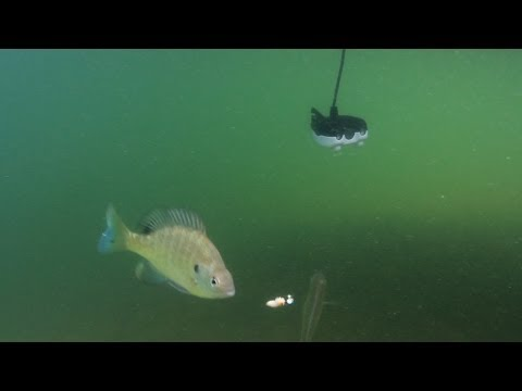 Underwater Camera Massive Bluegills