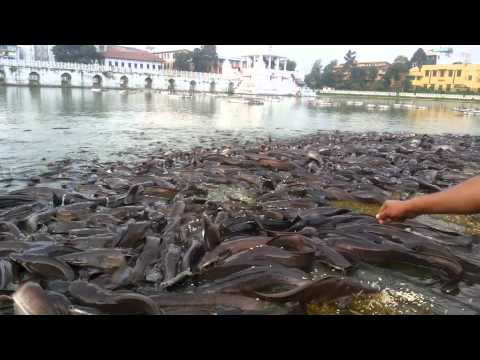 Feeding the  fishes at Ranipokhari