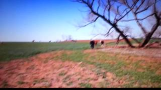 cow runs man down....... funny scary video