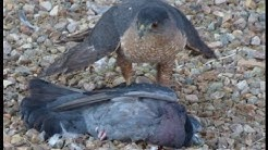 Cooper's Hawk, bird of prey, takes pigeon on Patio in Tucson, AZ