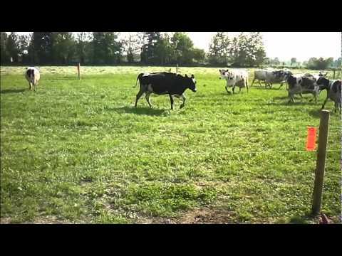 Recinzione elettrica per bovini youtube for Altezza recinzione per cani