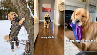 Golden retriever does the funniest things
