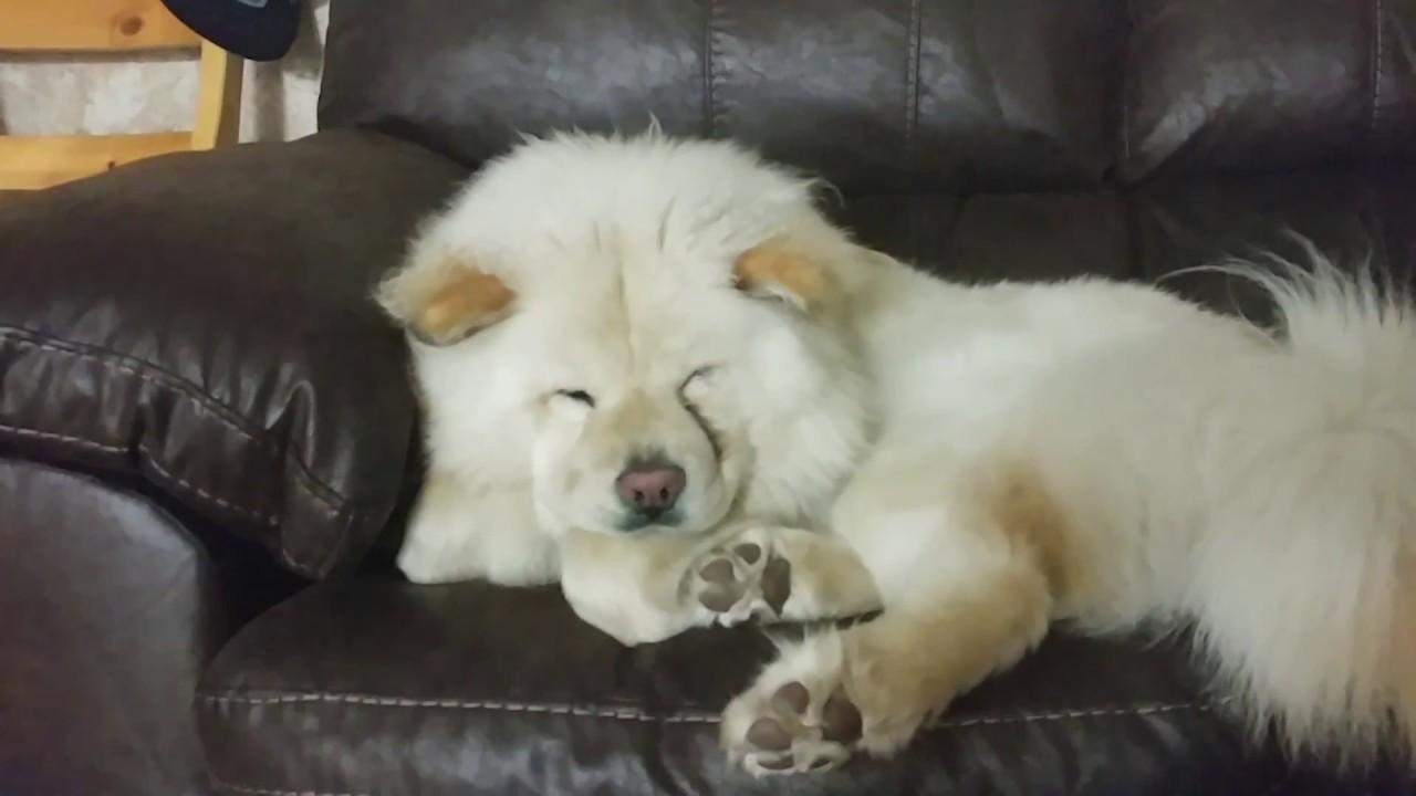 White Chow Sleeping You
