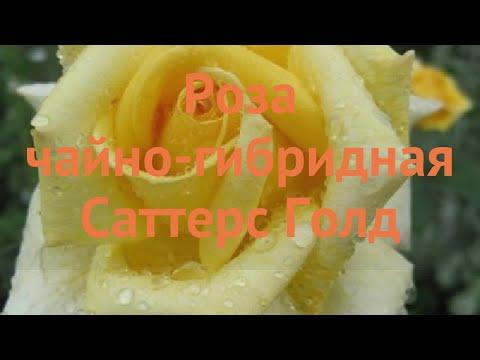 Роза чайно-гибридная Саттерс Голд (sutter's Gold) 🌿 обзор: как сажать, саженцы розы Саттерс Голд