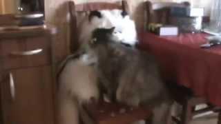 Кошка и её игрушечный друг / Cat and her toy friend