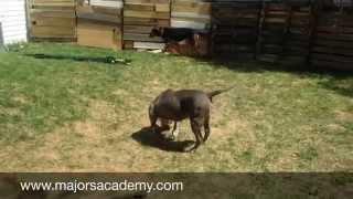 More About Dog Socialization!   Majors Academy Dog Training And Rehabilitation