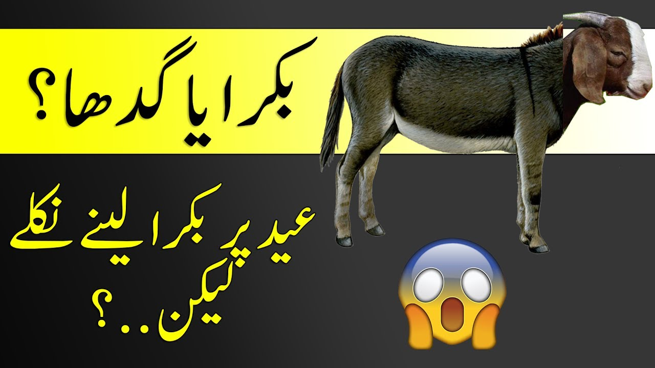 Qurbani Ka Janwar QURBANI SCAM!!   Qurba...