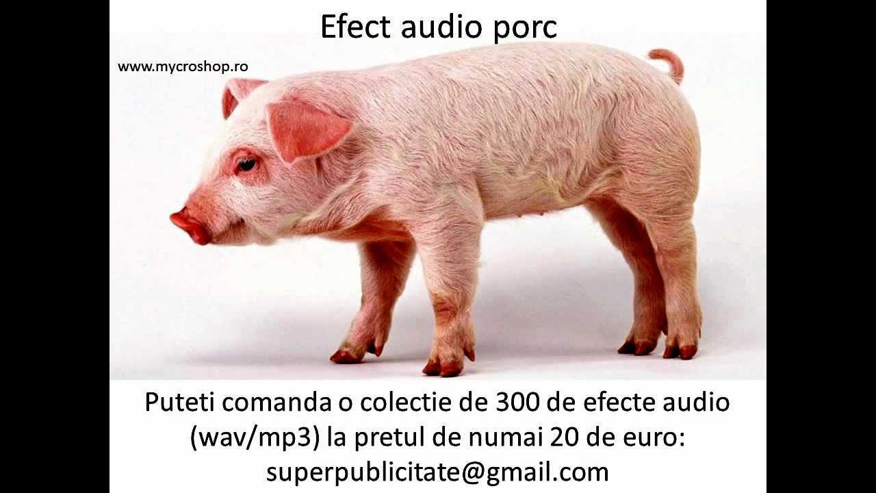 Efect audio porc. Pig sound effects. - YouTube