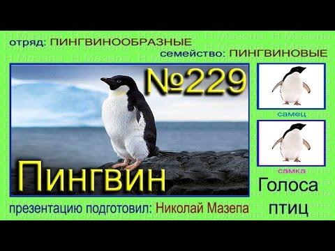 Как слепить пингвина из пластилина Пошаговый урок