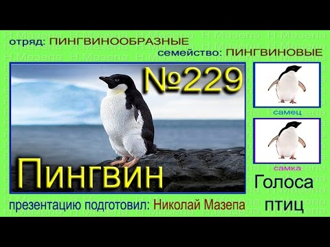 Пингвин. Голоса птиц