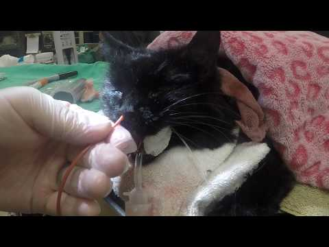 Nasal (Nose) Flush in a Cat