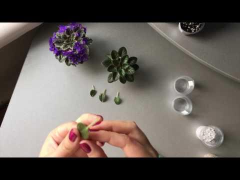 Размножение листом (черенком) миниатюрных фиалок