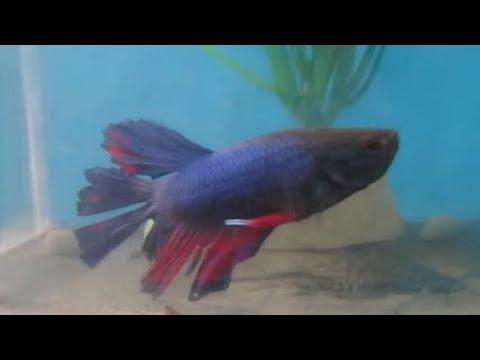 Ikan Cupang Tercantik dan Terganas (Betta Super Petarung ...
