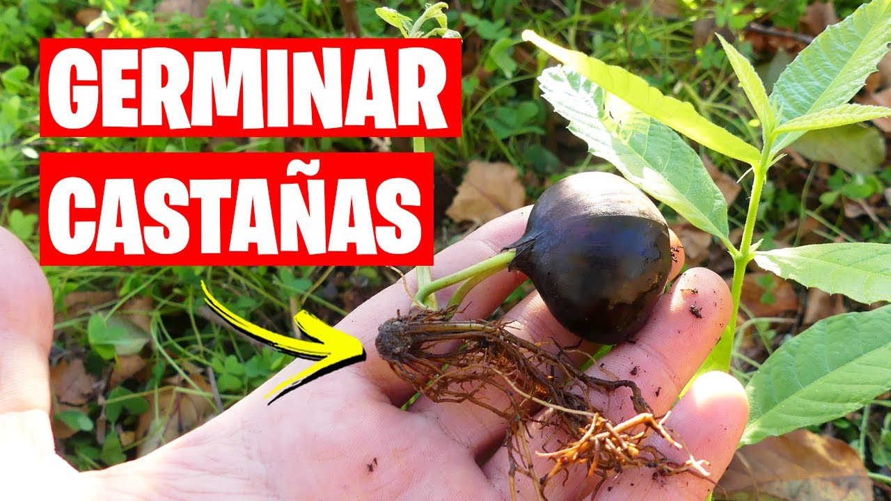 Cómo Germinar y Plantar CASTAÑAS (Éxito asegurado) | La Huerta de Ivan