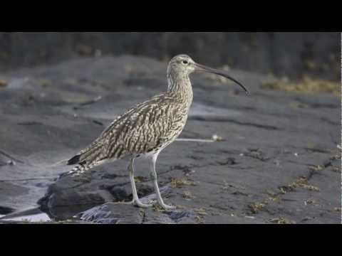 BTO Bird ID - Curlew and Whimbrel