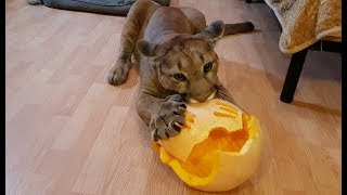 Halloween! тыква на halloween для пумы Месси