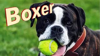 Boxer Dog Breed Info.  How to Choose Dogs