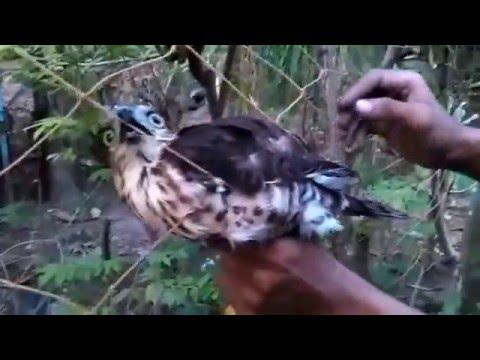 berburu burung elang jawa dengan jala/ net - YouTube
