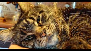 Мейн-кун в варежках, полидакт, кошка 5 лет