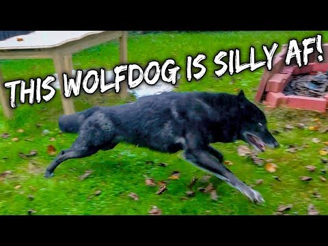 This Wolfdog is Silly AF!
