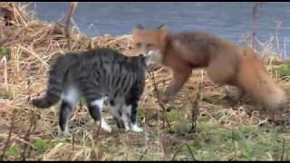 Кот против лисы. Cat vs Fox.