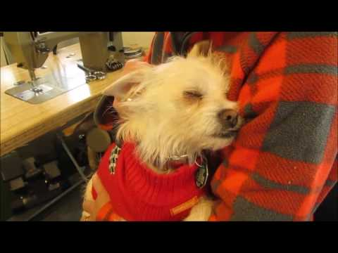 """CHIHUAHUA/WESTIE MIX """"AURORA"""" - Available for adoption through Cairn Rescue USA"""