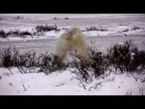 Polar bear smack down!