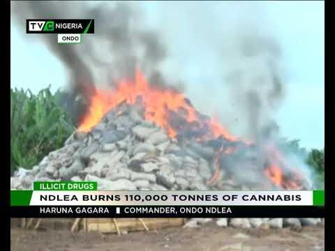 NDLEA burns 110,000 tonnes of cannabis