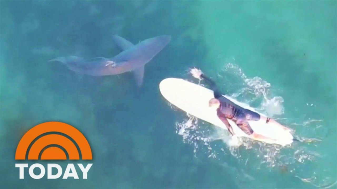 See Great White Sharks Swim Near Surfers - TODAY