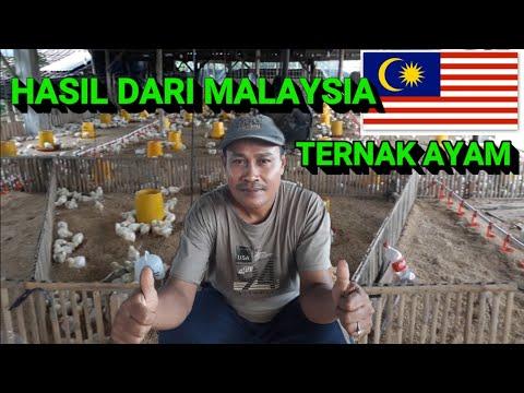 HASIL MERANTAU DI MALAYSIA SUKSES TERNAK AYAM #2