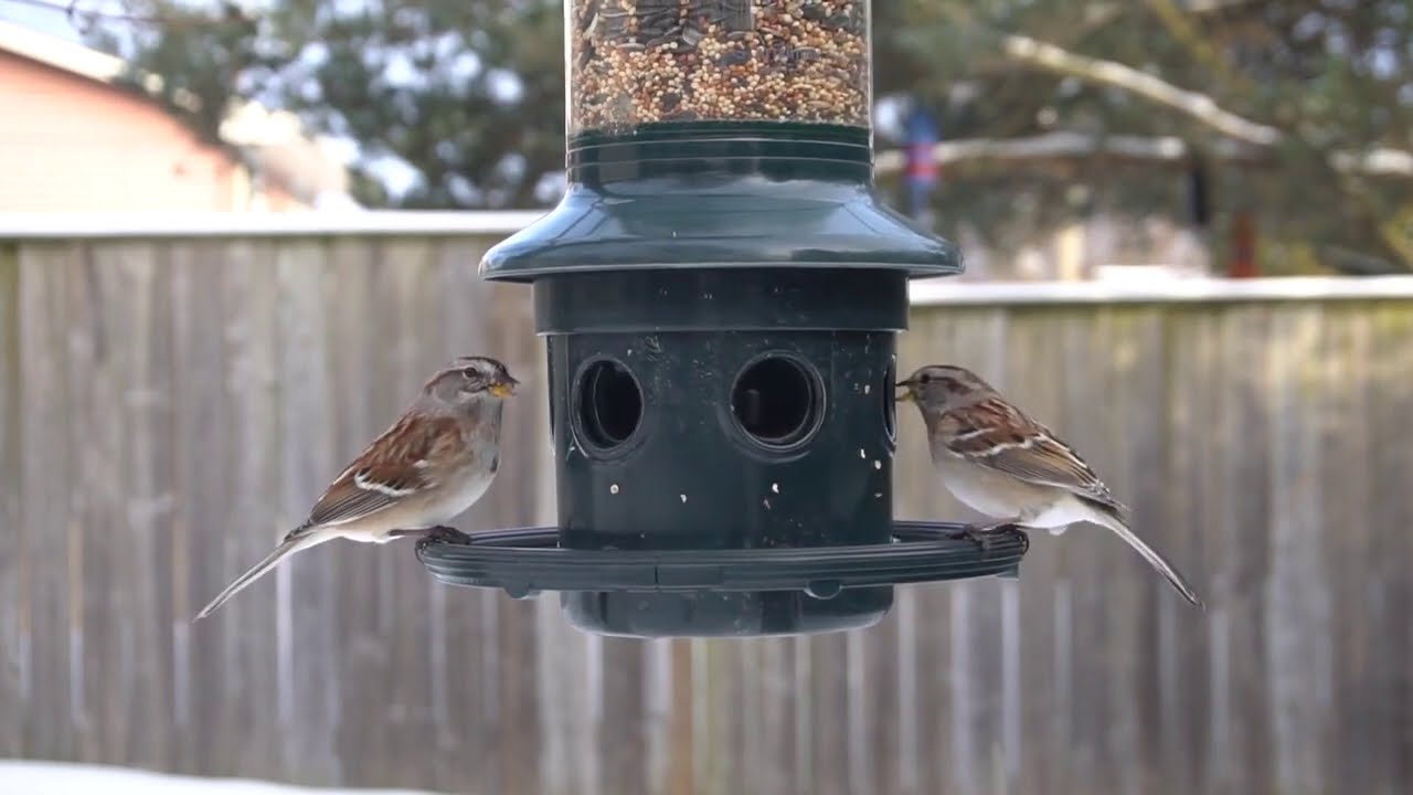 Backyard Hanging Feeder - Finches, Jays, Sparrows - March 7, 2021