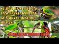 Suara Burung Ribut Buat Mikat Segala Cucak Ijo Yang Paling Ampuh  Mp3 - Mp4 Download