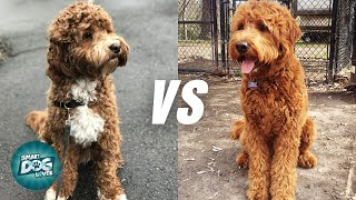 Labradoodle VS Goldendoodle: 10 Similarities | Which Poodle Mix Breeds Is Better?