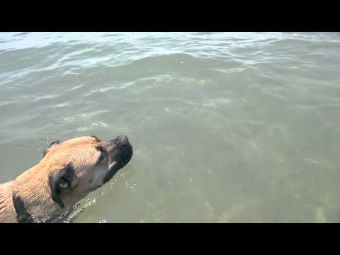 cane corso play and  swim in the sea