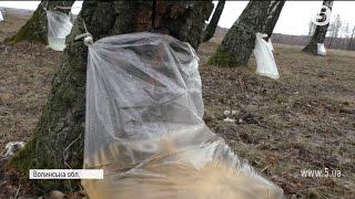 На Волині розпочався сезон заготівлі березового соку